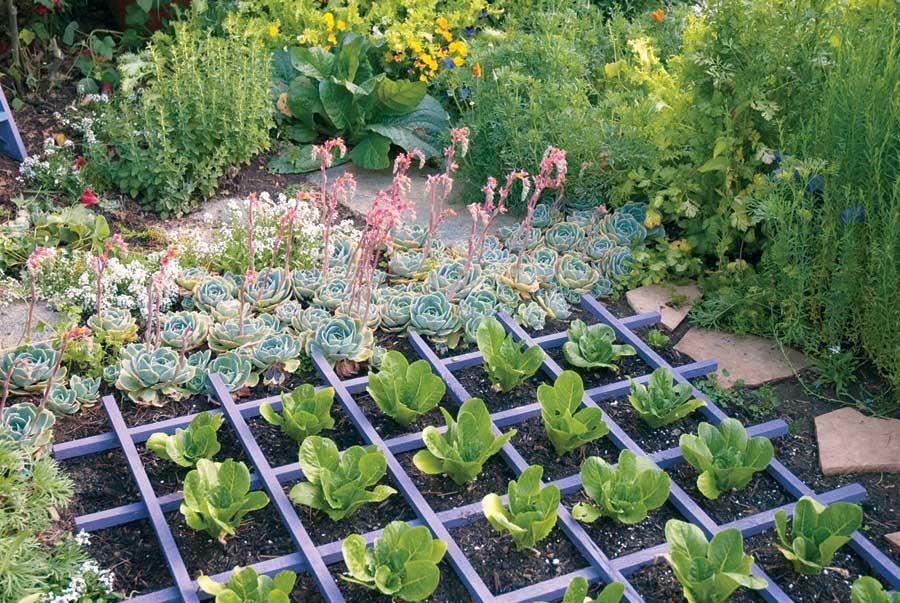 NH-SO11-ediblelandscaping-lettuce