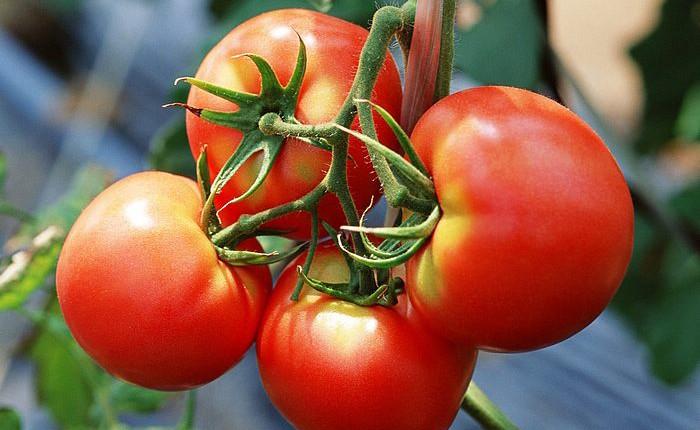 fruit_tomato_wallpaper_EA60010